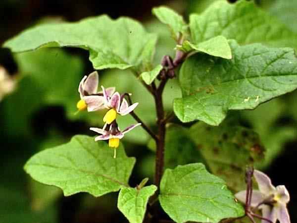 Solanaceae Nightshade Family