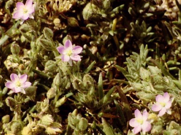 http://plants.montara.com/ListPages/FamPages/showpix/caryophyllaS/spemac_a.JPEG