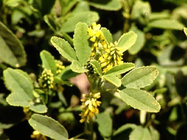 Fabaceae Legume Family Pt 4